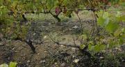 Le dépérissement de la vigne met en péril la compétitivité du vignoble français.