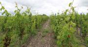 En France, 20 cépages résistants sont inscrits au catalogue des variétés. Ces anciens hybrides ne constituent pas vraiment l'avenir des variétés résistantes contrairement aux variétés issues du programme ResDur.