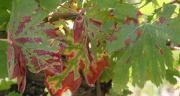 D'après une enquête nationale, l'Esca est jugée extrêmement à très préoccupante par 58 % des viticulteurs, et plus préoccupante que l'oïdium et le mildiou. Photo: S. Simonin/Pixel image