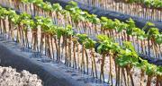 Comment va se présenter le futur régime des autorisations de plantation? Les ultimes négociations entre la Commission européenne et les producteurs de vins européens devraient s'achever à la fin du mois.