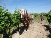 Le cheval Vico attelé de la décavaillonneuse Horse One. Photo. R. Poissonnet