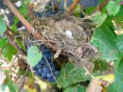 Un nid dans les vignes. DR.