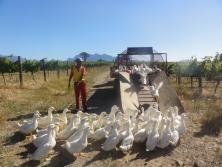 les canards du domaine Avondale en Afrique du Sud participe à la régulation des ravageurs de la vigne.