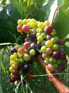 cépage rouge papaskarasi, dans le vignoble du domaine Chamlija, en Thrace (Turquie)