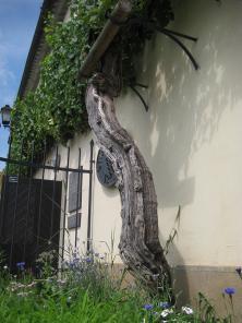 La plus vieille vigne du monde est slovène.
