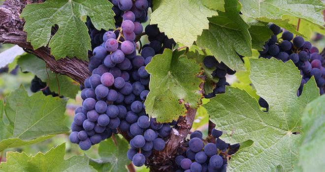 En juillet, les prévisions officielles Agreste du ministère de l'Agriculture prévoyaient une augmentation de 10% de la production nationale de vin, malgré la grêle et les orages du début d'été.