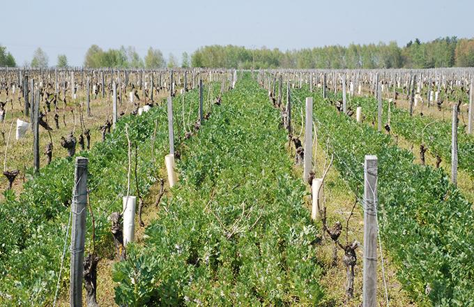Vigne - Piloter la destruction des couverts de vos vignes