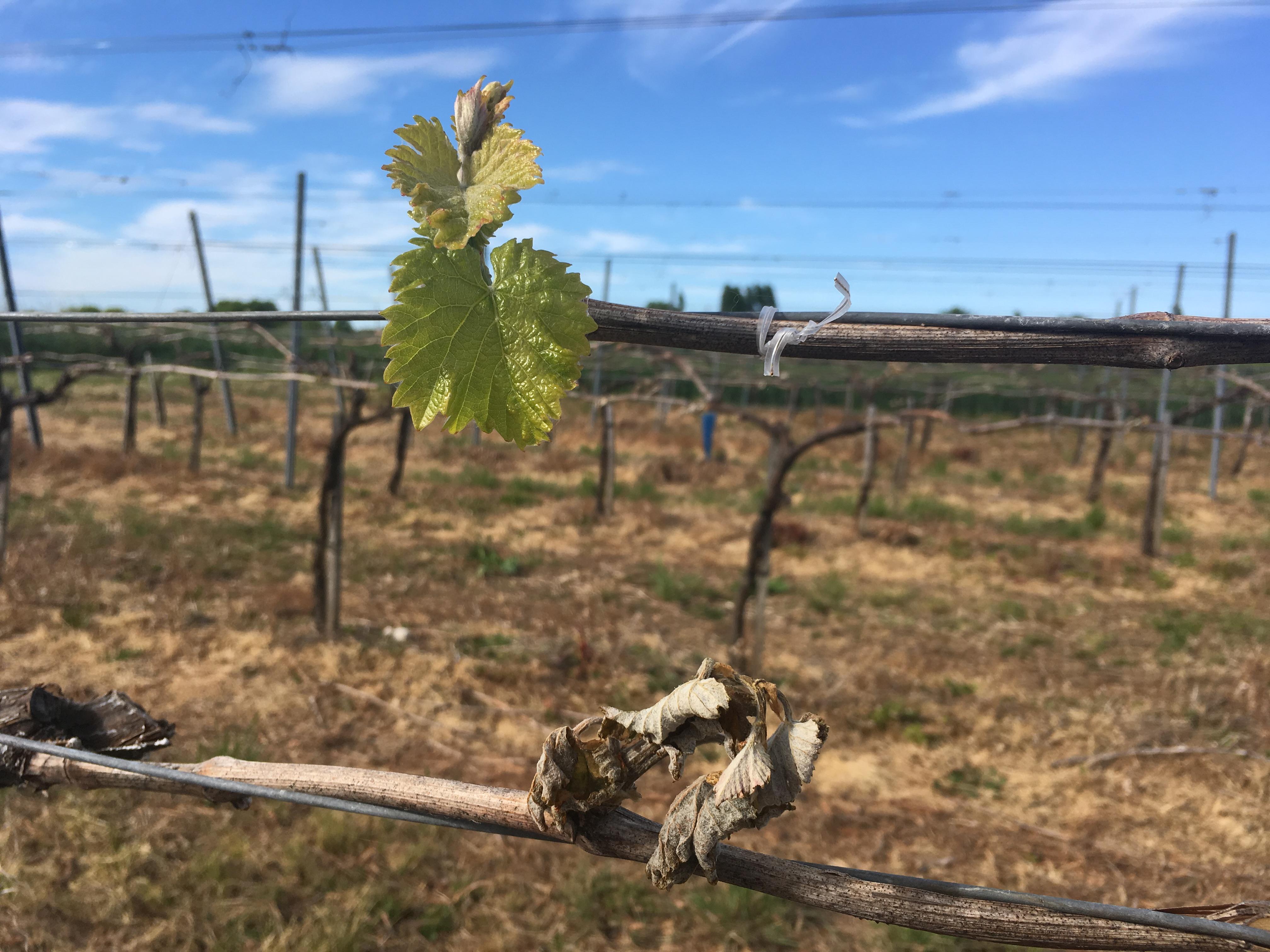 Comment relancer des vignes apr s un stress comme le gel ou la gr le mon viti - Comment planter un pied de vigne video ...