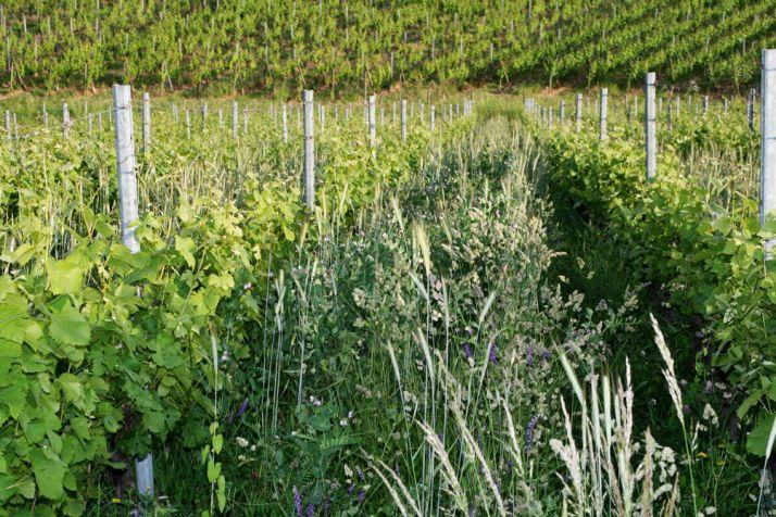 Le couvert naturel de l'interrang est laissé monté à graines. Photos: DR