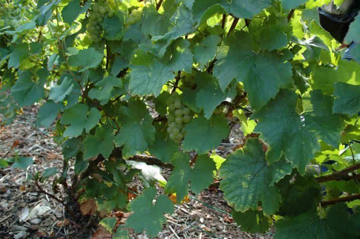 Champagne : le prix du raisin croît plus vite que le prix de vente bouteille.  © M. Carpentier/Pixel image