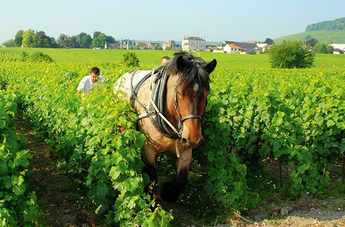 La traction animale est présente autant en viticulture bio que raisonnée.