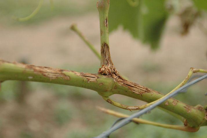le vignoble de Buzet  a été touché par la grêle en juin 2020