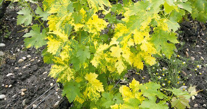 Le court-noué est la virose la plus grave connue sur vigne dont le Grapevine Fanleaf Virus et l'Arabis Mosaic Virus sont les principaux responsables. Les dégâts occasionnés par cette maladie sont souvent sous-estimés mais elle est en fait une des plus répandues dans le vignoble français. Photo : Vitinnov