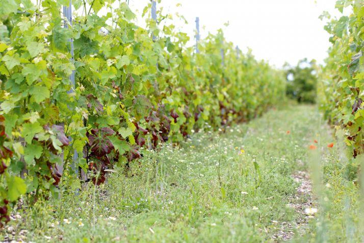 Cépage Rés testé par l'Inra  de Bordeaux depuis2011  et issu du programme ResDur. © Inra Bordeaux