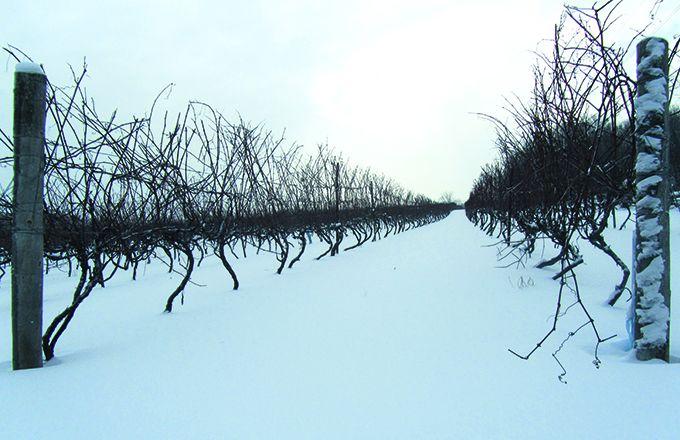 Les «Vitis vinifera» représentent aujourd'hui moins de 5% des surfaces viticoles québécoises, unpourcentage appelé àprogresser. Photo: David Bessenay
