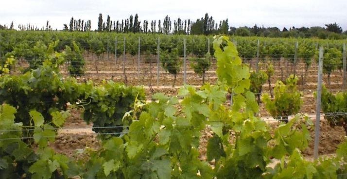 Dans la région de Sérignan, les viticulteurs observent des signes de salinité sur leurs parcelles ainsi qu'une augmentation du dépérissement de la vigne. D'abord localisées, ces apparitions de «taches  salées» sont désormais  plus généralisées. © DR