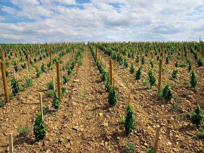 Pour Pierre Morin, viticulteur à Bué et président de Ceps Sicavac, cette démarche autour des plants de qualité doit se faire en collaboration totale avec les pépiniéristes. Photo : Chris Kissack