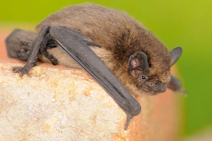 En Bourgogne, les inventaires faunistiques menés dans les vignes ont indiqué la présence d'une quinzaine d'espèces de chauve-souris. L'analyse acoustique des ultrasons a montré que des espèces comme les pipistrelles et les sérotines chassent et consomment des insectes dans les vignes.Photo : L. Jouve/SHNA