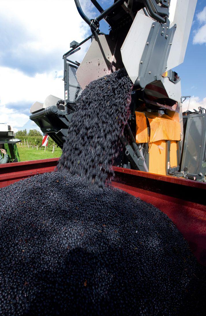 Les machines à vendanger donnent désormais des résultats proches du zéro déchets. © Pellenc