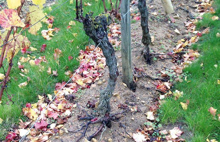 Les bandes enherbées entre les rangs conduisent parfois  à renforcer l'érosion, avec des ravines qui accentuent  les flux d'eau. © Guilaume Delanoue