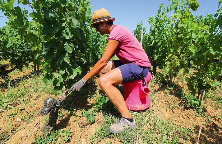 Le seau autoporté permet de travailler moins péniblement dans les vignes basses. © Isabelle Morrier
