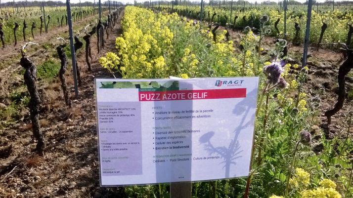 RAGT sélectionne des espèces de couvert  temporaire bénéfiques pour la vigne, comme la moutarde. CP : RAGT