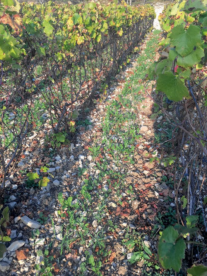 Un mois après le semis, le couvert commence à s'implanter. La levée reflète bien la diversité du mélange. © T. Massin