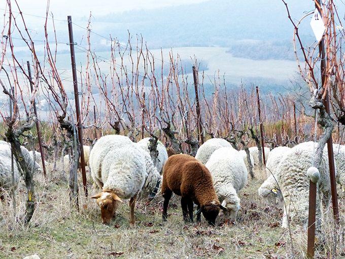 L'objectif du FiBL France est de proposer des repères aux éleveurs, pour prendre leurs décisions sur la durée de pâturage, en fonction du risque d'intoxication.