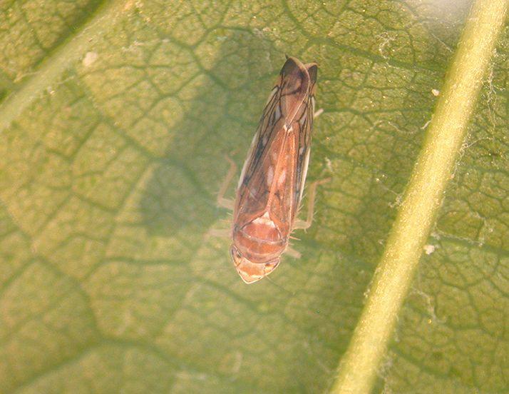La cicadelle de la flavescence dorée, qui vient de la région  des grands lacs américains, préfère les hivers froids. © AS Walker/Inra