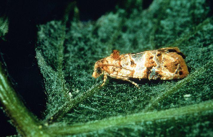 Eudémis pourrait profiter de l'augmentation des températures pour développer ses populations… © R Coutin - N Hawlitzky /Inra