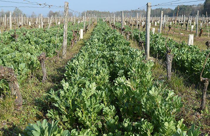 Dans le Loir-et-Cher, la féverole a été testée pour diminuer les carences en azote assimilable des moûts, tout en arrêtant les engrais de synthèse. © GDDV41