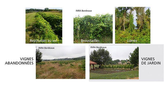 Repousses de porte-greffe, vignes abandonnées  ou vignes de jardin…  Les réservoirs possibles  de contamination  en dehors des vignes  cultivées sont nombreux.