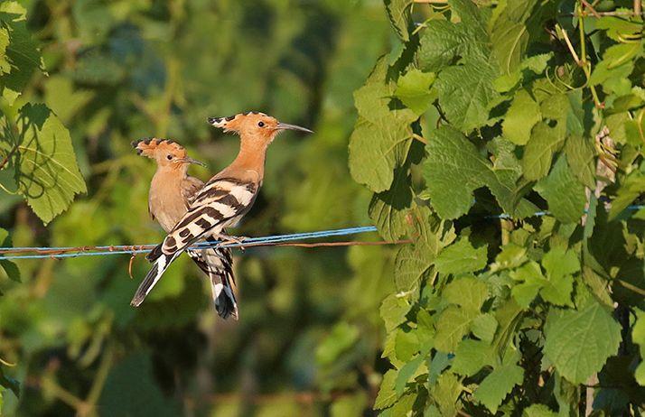 Huppe fasciée, oiseau emblématique de la côte viticole. © Marc Solari