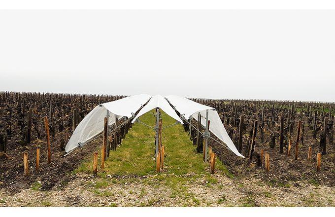 Viti-tunnel qui protège  les ceps durant les intempéries va être testé sur 1,5km linéaire de vigne. Mo.del