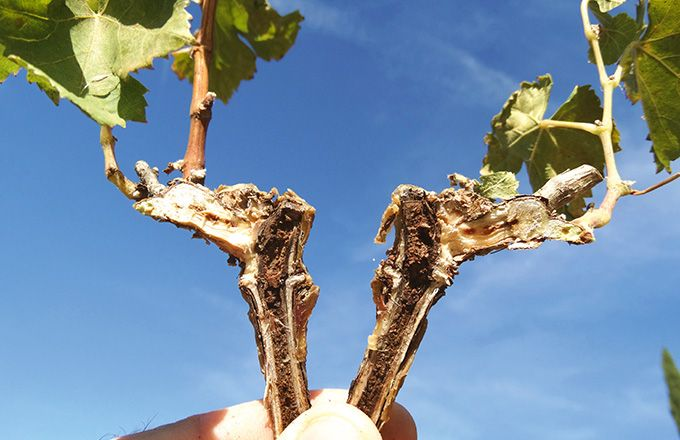 Sur ce plant greffé-soudé de l'année, les nécroses internes sont très visibles. Worldwide vineyards