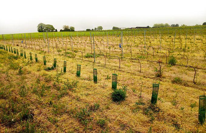 Une première parcelle permettant de comparer l'évolution  de plants avec différents greffages a été installée à Gaillac.