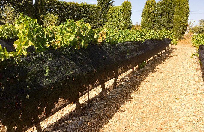 Lors des essais menés dans le Vaucluse, l'objectif de retarder la maturité de plus de 10 jours a été atteint avec les filets à 70% d'ombrage. CA 84