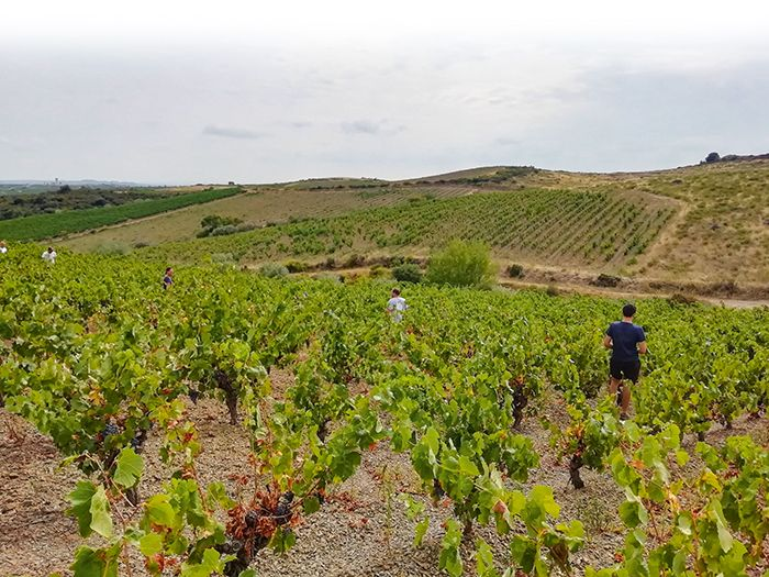 À Faugères, l'implication des vignerons dans le GDON est très bonne, d'après Nathalie Caumette.