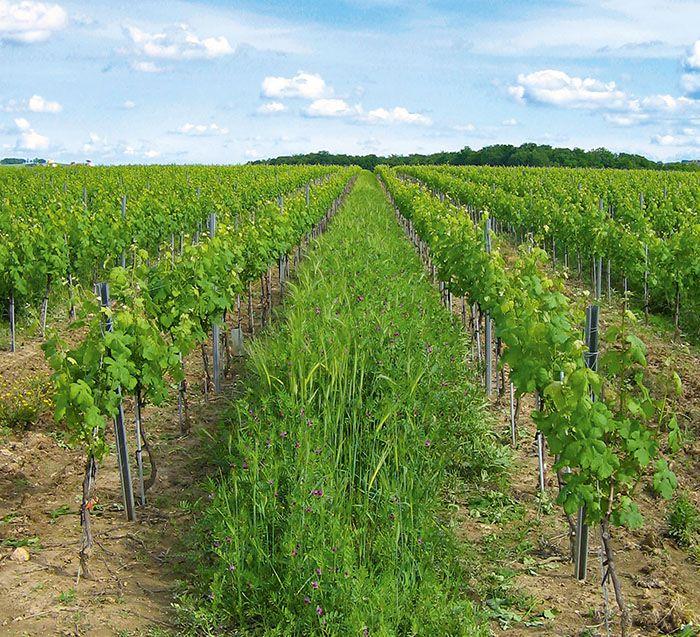 Avec ses engrais verts,  Pascal Pélissou cherche  à accroître la fertilité  de ses sols.