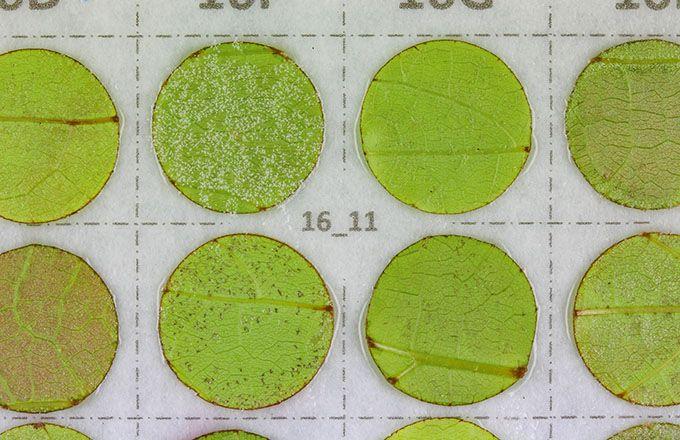 Sporulation mildiou sur disques foliaires. L'intensité  de la sporulation du mildiou permet d'évaluer sa virulence. (Inrae)