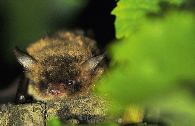 Les pipistrelles sont des espèces de chauves-souris présentes dans les vignes et consommatrices de tordeuses de la grappe. Photo : Y. Charbonnier