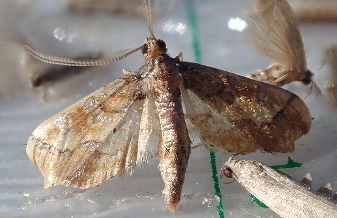 Les larves du papillon cryptoblabes mangent la pellicule des baies après la véraison. Pour gagner en performance lors des traitements insecticide, il est conseillé de bien orienter la bouillie sur la zone fructifère. Photo : Cyril Cassarini