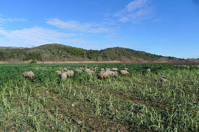 Le Domaine des Schistes, membre du GIEE Couvreurs de vigne, teste depuis deux ans le pâturage des couverts par des moutons.