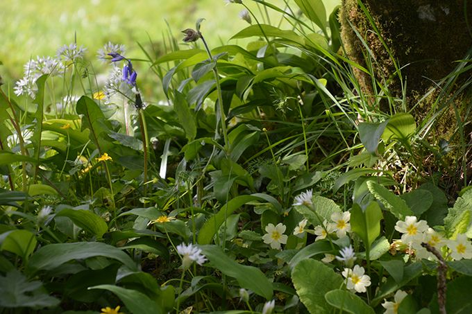 Par sa présence et sa diversité,  cette communauté de fleurs forestières traduit la bonne fonctionnalité  de la haie. Photo : D. Rolland/FDC 22
