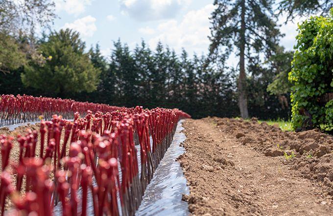 L'équipe du projet Origine a pu mettre en évidence le fort impact des conditions de conservation des bois sur le taux de reprise au greffage. Photo : Adobe Stock/belinot