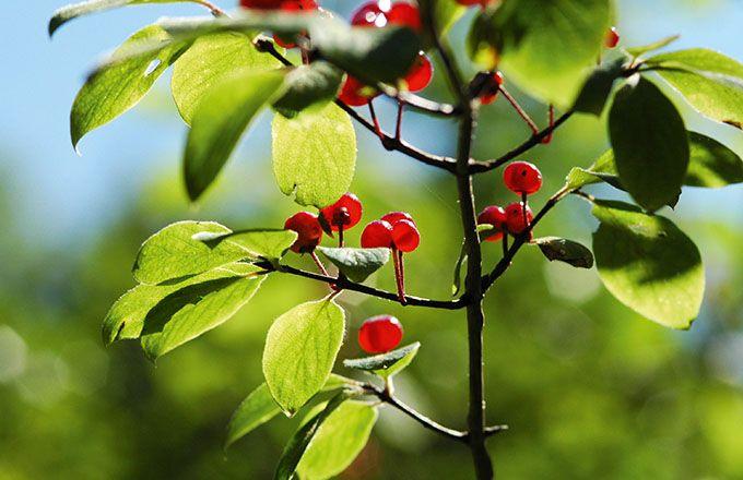 Le Grab teste des extraits de plantes qui contiennent des substances émises par les ceps résistants au mildiou. arvernho/Adobe Stock