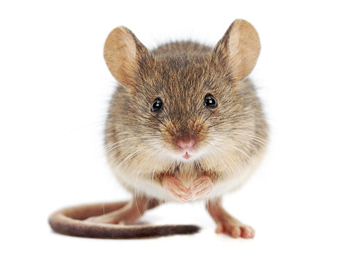 Quand on y goûte, on ne s'y trompe plus: urine de souris, peau de saucisson, pop-corn… Autant de descripteurs qui annoncent une altération microbienne aussi incomprise que mal aimée: le goût de souris.