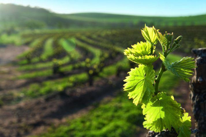 Black Rot dans les vignes: quels sont les gestes qui sauvent… ou pas !