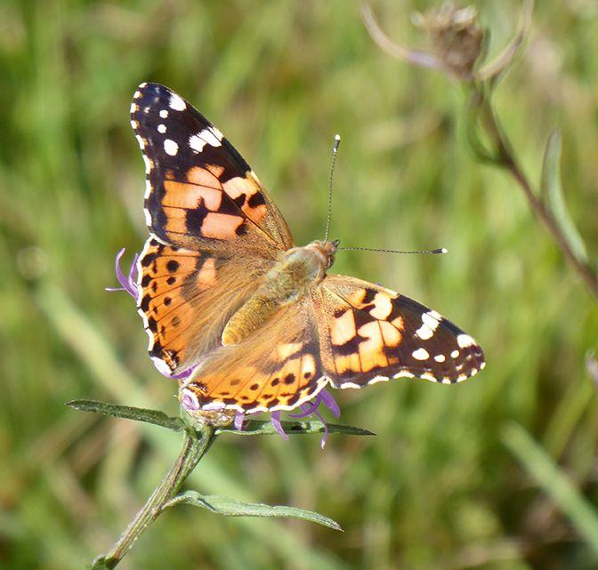 La présence d'un enherbement permanent favorise la faune,  notamment les insectes.