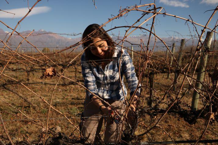 Chaque année, les bois des pinots gris sont pesés avant de réaliser la taille (Bodega Piedra Negra)